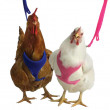 Chicken Harness Plus Lead